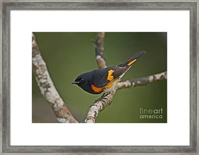 Male American Redstart Framed Print by Neil Bowman