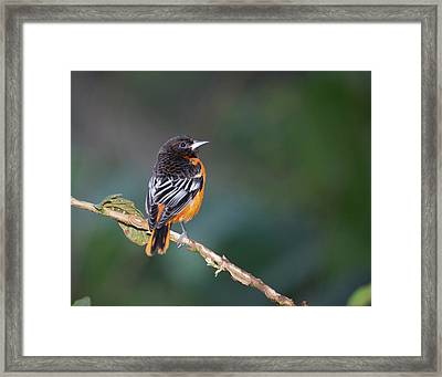 Male Baltimore Oriole, Icterus Galbula Framed Print by Thomas Wiewandt