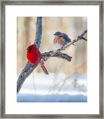 Male Bluebird And Cardinal On Branch Framed Print by Douglas Barnett