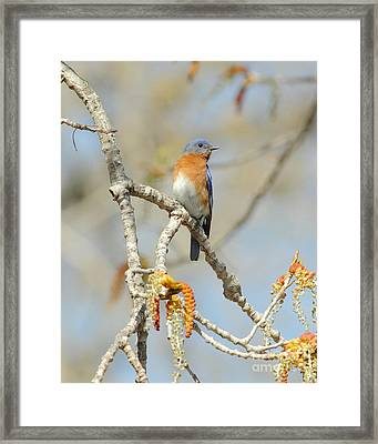 Male Bluebird In Budding Tree Framed Print by Robert Frederick
