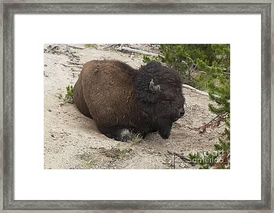 Male Buffalo At Hot Springs Framed Print by Belinda Greb