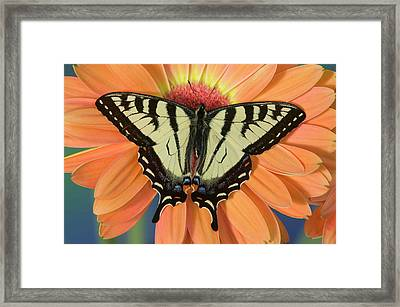 Male Canadian Tiger Swallowtail Framed Print by Darrell Gulin