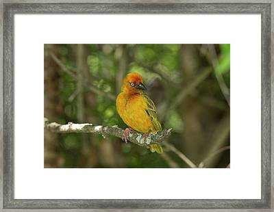 Male Cape Weaver In Breeding Plumage Framed Print by Bob Gibbons