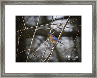 Male Eastern Bluebird Framed Print by Cris Hayes