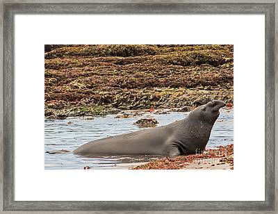 Male Elephant Seal In Ano Nuevo California State Park Framed Print by Natural Focal Point Photography