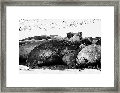 male elephant seal sleeping in a colony hannah point livingstone island Antarctica Framed Print by Joe Fox