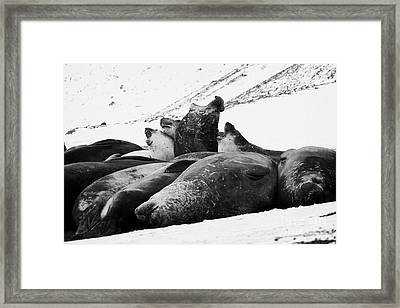 male elephant seals roaring hannah point livingstone island Antarctica Framed Print by Joe Fox