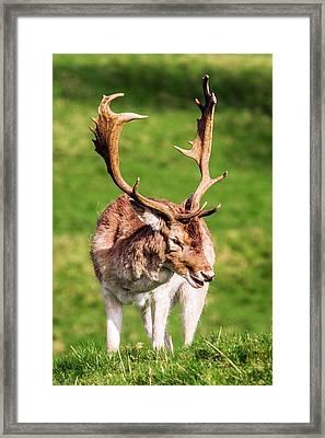 Male Fallow Deer Framed Print by Paul Williams