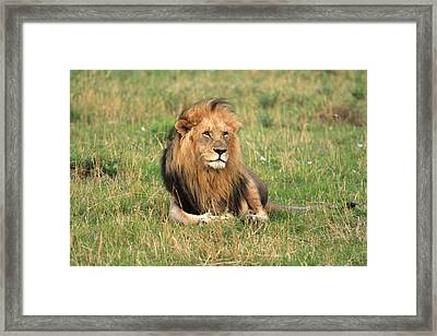 Male Lion On The Masai Mara Framed Print by Aidan Moran