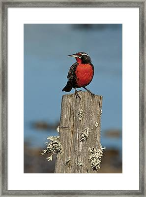 Male Long-tailed Meadowlark On Fencepost Framed Print by John Shaw