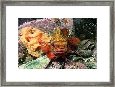 Male Lumpfish Guarding Eggs Framed Print by Andrew J. Martinez