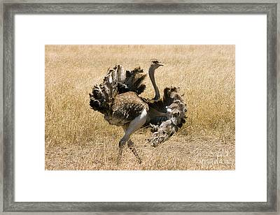 Male Ostrich Performing Distraction Framed Print by Gregory G Dimijian MD