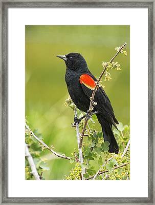 Male Red-winged Blackbird Framed Print by Belinda Greb