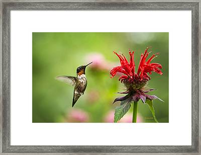 Male Ruby-throated Hummingbird Hovering Near Flowers Framed Print by Christina Rollo