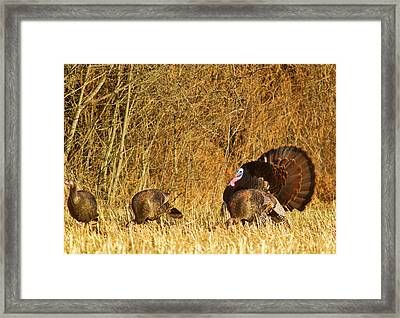 Male Tom Turkey With Hens Framed Print by Chuck Haney