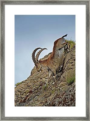Male Wahlia Ibex Mountain Descent Framed Print by Tony Camacho