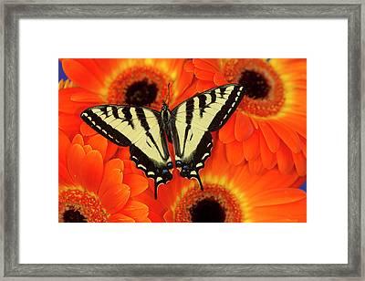 Male Western Tiger Swallowtail Framed Print by Darrell Gulin
