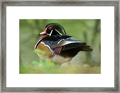 Male Wood Duck Framed Print by Bob Gibbons