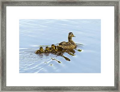 Mallard And Chicks  Framed Print by Chris Flees