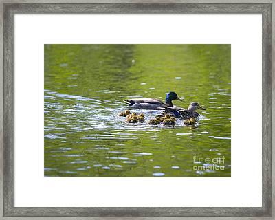 Mallard Duck Family Framed Print by Diane Diederich