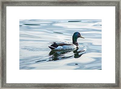 Mallard Duck On A Calm Lake Framed Print by Photographic Arts And Design Studio
