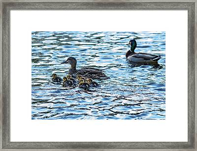 Mallard Ducks Framed Print by Babak Tafreshi