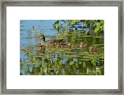 Mallard Mom And The Kids Framed Print by Sharon Talson