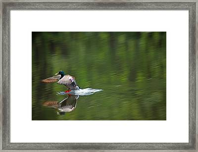 Mallard Splash Down Framed Print by Karol Livote