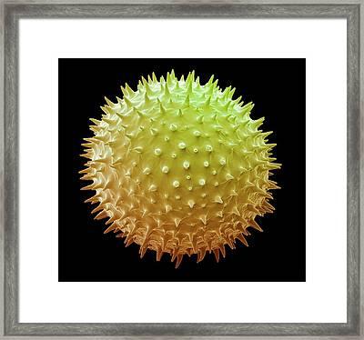Mallow Pollen Grain Framed Print by Steve Gschmeissner