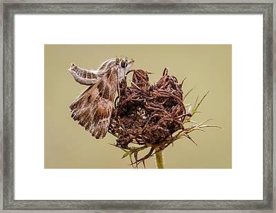Mallow Skipper Framed Print by Heath Mcdonald