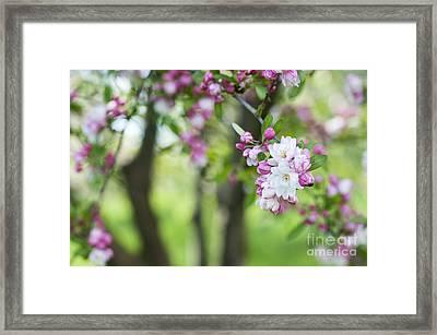 Malus Snowcloud Blossom Framed Print by Tim Gainey