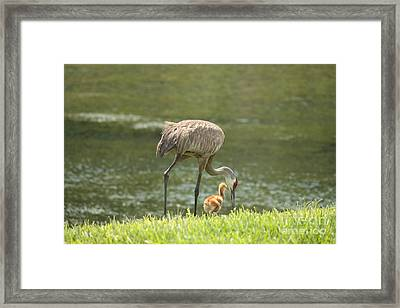 Mama And Chick Framed Print by Carol Groenen