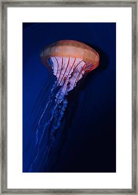 Man Of War Jellyfish Framed Print by Renee Barnes