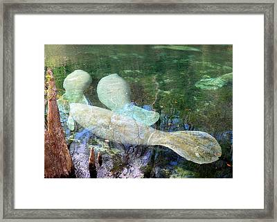Manatee Gathering Framed Print by Sheri McLeroy