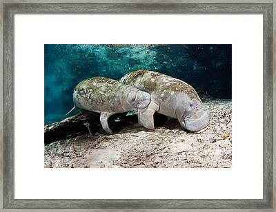 Manatee Mother And Young Framed Print by David Fleetham