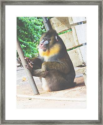 Mandrill Framed Print by Pati Photography