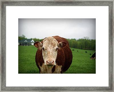 Mandy The Curious Cow Framed Print by Cricket Hackmann