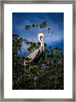 Mangrove Pelican Framed Print by Karen Wiles