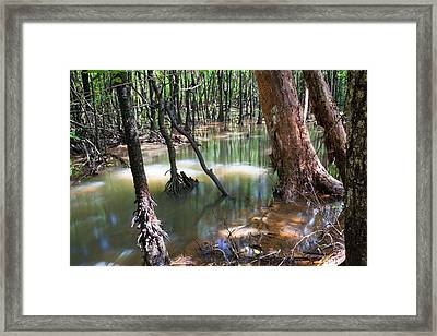 Mangrove Trees Framed Print by Ashley Cooper