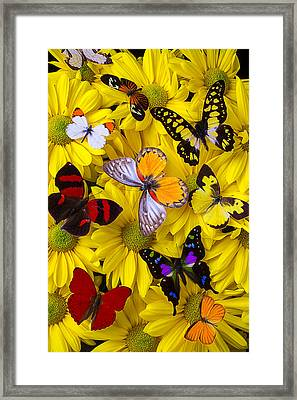 Many Butterflies On Mums Framed Print by Garry Gay