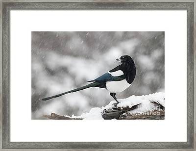 Mapgie In Profile Framed Print by Tim Grams