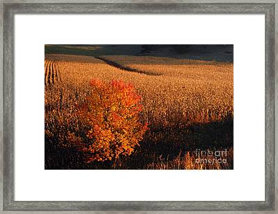 Maple And Cornfield At Dawn Framed Print by Larry Ricker