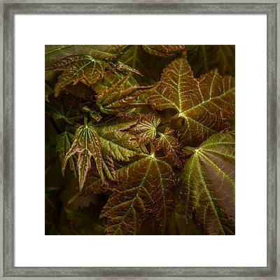 Maple Leaf Abstract Framed Print by Paul Freidlund