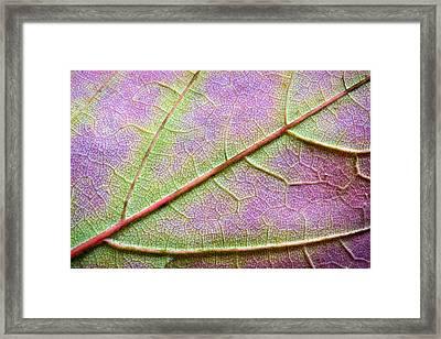 Maple Leaf Macro Framed Print by Adam Romanowicz