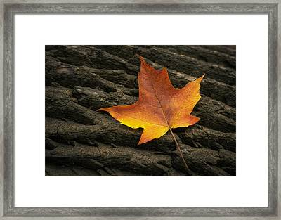 Maple Leaf Framed Print by Scott Norris