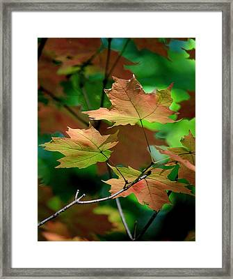 Maple Leaves In The Shadows Framed Print by Rosanne Jordan