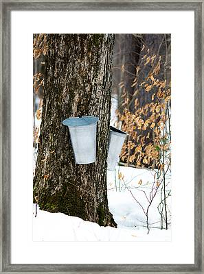 Maple Sap Collection Framed Print by Cheryl Baxter