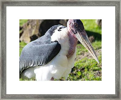 Marabou Stork 7d8886 Framed Print by Wingsdomain Art and Photography