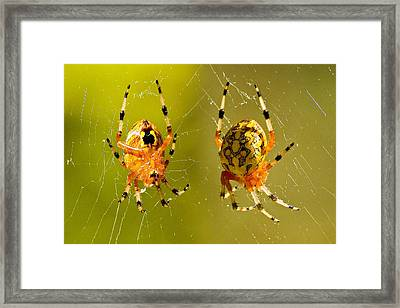 Marbled Orb Weaver Spider Framed Print by Susan Whitaker