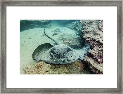 Marbled Ray (taeniura Meyeri Framed Print by Pete Oxford